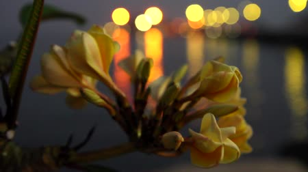 calyx : Plumeria flowers sway in the evening