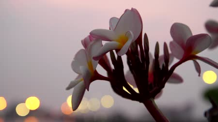 calyx : Frangipani flowers sway in twilight