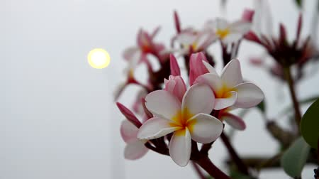 calyx : Frangipani or plumeria flowers sway in the evening