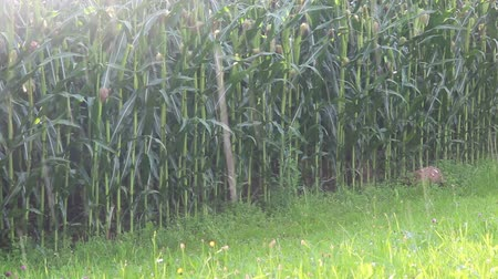 garça real : Cornfield in the rain, zooming in Stock Footage