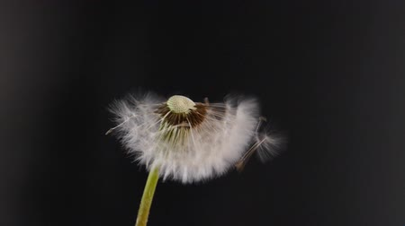 dmuchawiec : Seeds of a dandelion fly away slowmotion