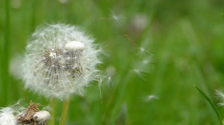 dmuchawiec : Dandelion against green grass in the wind