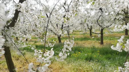 yay : spring orchard Stok Video