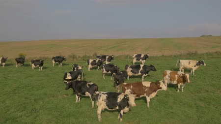 stádo : Large herd of cows