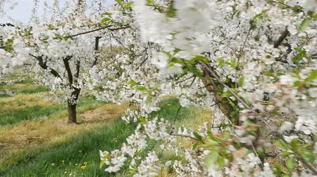 Beautiful and colorful orchard in the spring