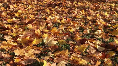 sararmış : Autumn bright maple leaves fall down and cover the ground