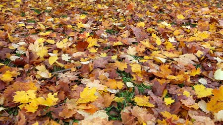 sararmış : A lot of yellow and orange bright autumn maple leaves lying on the ground
