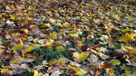 sararmış : Autumn bright maple leaves fall down and cover  ground