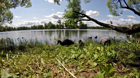 mobbing : pigeons and ducks eat bread on the bank of the lake