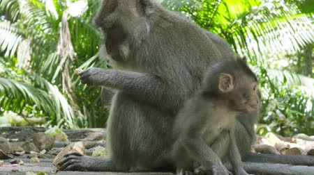 crab of the woods : The crab-eating macaque ,Macaca fascicularis, also known as the long-tailed macaque