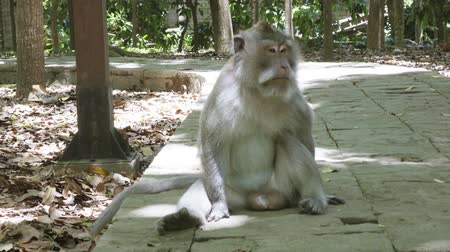 macaca fascicularis : The crab-eating macaque ,Macaca fascicularis, also known as the long-tailed macaque