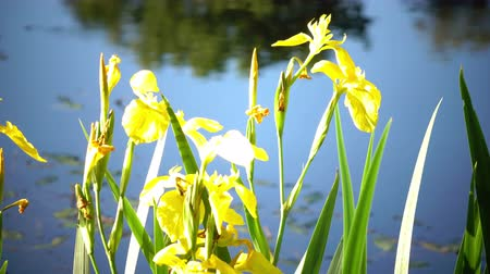 bavaria flag : Iris pseudacorus yellow flag, yellow iris, water flag, lever is a species in the genus Iris, of the family Iridaceae Stock Footage