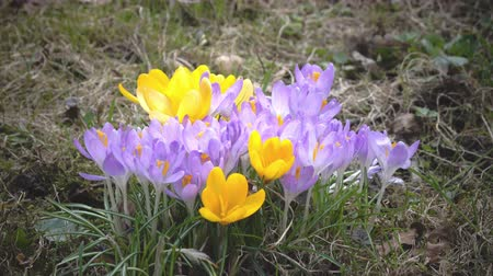 krokus : Early spring, crocus flowers against the background of a last years grass
