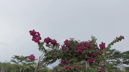 rosa sinensis : camera moves on the bridge with the arches twined a terry hibiscus Stock Footage
