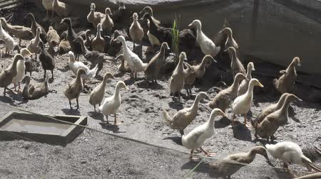 campbell : Domestic Ducks in farm of Bali. Stock Footage