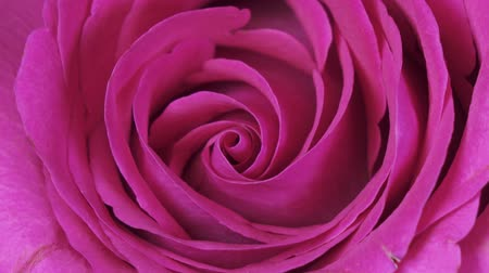 único : Rose Flower close up background. Beautiful Dark Red Rose closeup. Symbol of Love. Valentine card design. HD 1080p