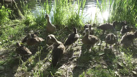 mobbing : Young ducks bread on the bank of the lake the sun lit with bright evening light goes Wideo