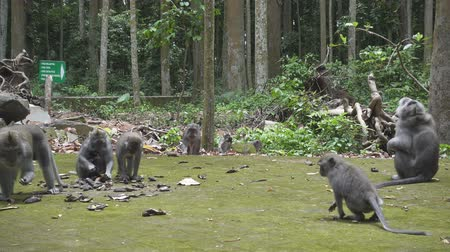 macaca fascicularis : The crab-eating macaque ,Macaca fascicularis, also known as the long-tailed macaque,Sangeh Monkey Forest Bali Stock Footage