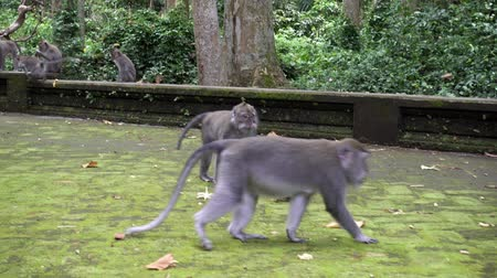 crab eating macaque : The crab-eating macaque ,Macaca fascicularis, also known as the long-tailed macaque,Sangeh Monkey Forest Bali Stock Footage