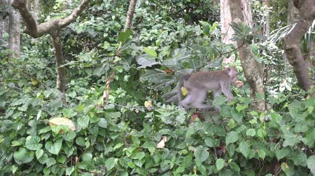 crab of the woods : The crab-eating macaque ,Macaca fascicularis, also known as the long-tailed macaque,Sangeh Monkey Forest Bali Stock Footage