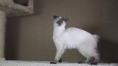 siamese : Young cat, kitten, Siam oriental group, Mekong bobtail