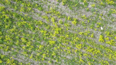 rapa : Aero view from drone in field of colza Brassica napus in sunny day Stock Footage