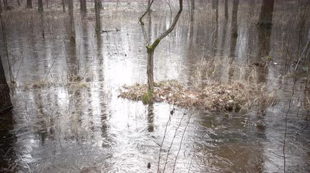 which : The spring wood flooded with water and which has frozen under ice