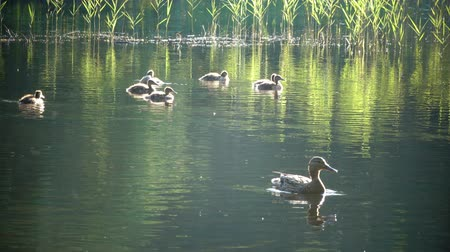 bird learning : Duck with ducklings on walk floating in the pond water in sunny day. Harmony of nature. Stock Footage