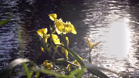 lilyum : Iris pseudacorus yellow flag against the background of the sun which is reflected in water , yellow iris, water flag, lever is a species in the genus Iris, of the family Iridaceae