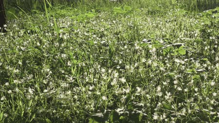florescência : Forest glade with Wild Stellaria white flowers swinging on the wind. Spring.Stellaria is a genus species flowering plants in the family Caryophyllaceae Vídeos