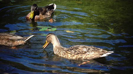 anas platyrhynchos : Wild duck family (Anas platyrhynchos) on floating log.close up in sunny day