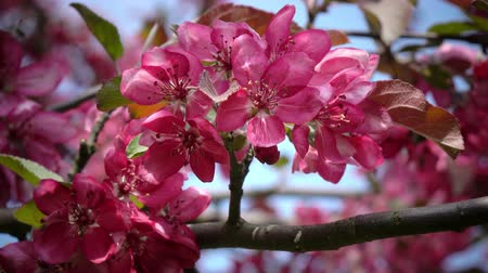 rákok : Blooming Pink Crab Apple Trees in the Spring Garden