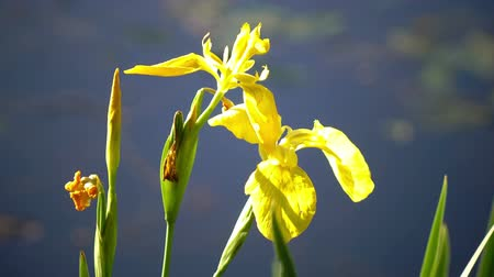 Бавария : Iris pseudacorus yellow flag, yellow iris, water flag, lever is a species in the genus Iris, of the family Iridaceae Стоковые видеозаписи