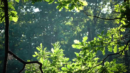 probóscide : Little flying insects fly in bright beams of the sun among green leaves of a tree