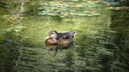 anas platyrhynchos : Wild duck family Anas platyrhynchos on floating log.close up in sunny day Stock Footage
