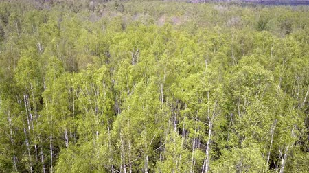forgatás : Aerial view from drone on the birch wood in the summer sunny day