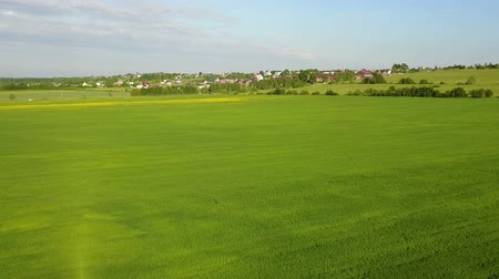 скольжение : Aerial Drone Shot over Large Green Wheat Field Стоковые видеозаписи