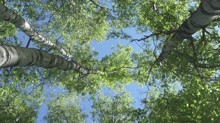 bétula : The bottom view on the birch wood against the background of the blue sky in sunny day Vídeos