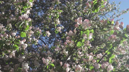 apple park : The camera moves along the apple-tree blossoming white flowers in sunny spring day
