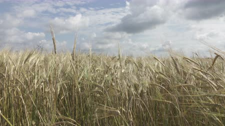 ripen : Panorama of the field of a ripe rye in summer sunny day, stalks shake from wind