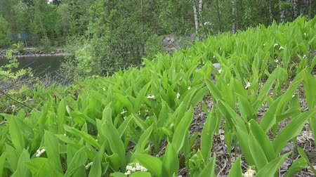 wood glade : camera moves on the spring wood lengthways a glade with leaves of a lily of the valley