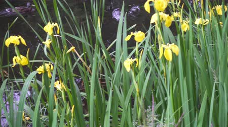 bavaria flag : Iris pseudacorus yellow flag, yellow water flag, lever is a species in the genus Iris, of the family Iridaceae