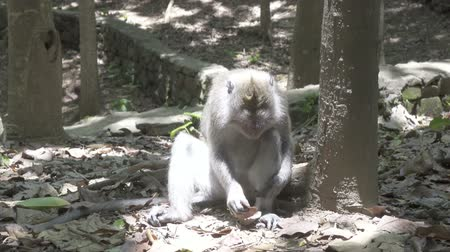 monkey : The crab-eating macaque ,Macaca fascicularis, also known as the long-tailed macaque,Sangeh Monkey Forest Bali Stock Footage