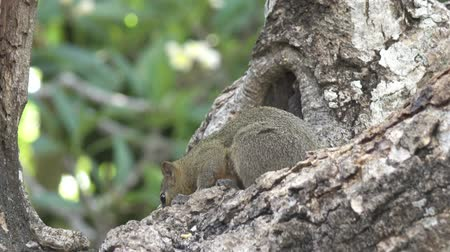 wiewiórka : The common treeshrew eats nuts sitting on a tree