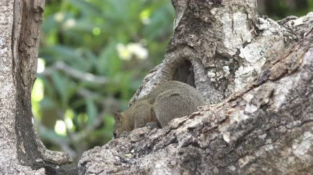 squirrel : The common treeshrew eats nuts sitting on a tree