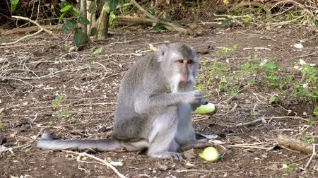 crab eating macaque : The crab-eating macaque ,Macaca fascicularis, also known as the long-tailed macaque