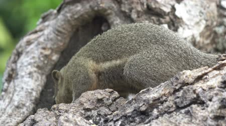 squirrel fur : The common treeshrew eats nuts sitting on a tree