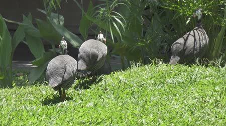 gine : Guinea fowl Guinean chicken on a green grass Stok Video