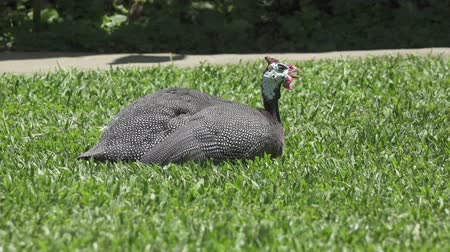 guinean : Guinea fowl Guinean chicken on a green grass Stock Footage