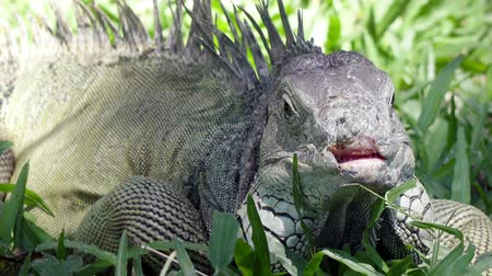 язык : Big green iguana on a green grass Стоковые видеозаписи